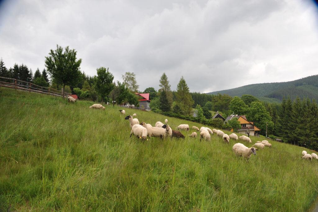 Ovečky 4